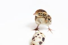 behandla som ett barn quail Royaltyfria Foton