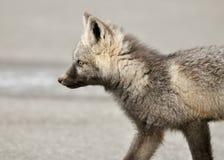 behandla som ett barn räven Royaltyfri Fotografi