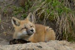 Behandla som ett barn räven Royaltyfri Foto