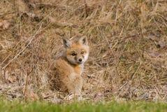 behandla som ett barn räven Arkivfoto