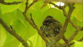 Behandla som ett barn rödhakenybörjarefågeln i träd stock video