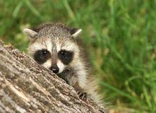 behandla som ett barn raccoonen Arkivfoto