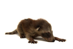 behandla som ett barn raccoonen Royaltyfri Foto