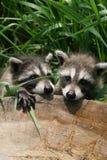 behandla som ett barn raccoons Royaltyfria Bilder