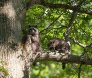 behandla som ett barn raccoonstree två Arkivbild