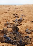 Behandla som ett barn redet för leatherbacksköldpaddan Arkivbild