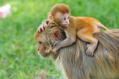 behandla som ett barn rhesusapa för den kathmandu macaqueapan Royaltyfria Bilder