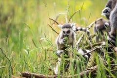Behandla som ett barn Ring Tailed Lemur Arkivfoton