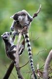 Behandla som ett barn Ring Tailed Lemurs Fotografering för Bildbyråer