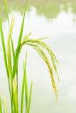 Behandla som ett barn ris på sparat, växa asiatiska ris royaltyfria foton