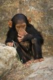 behandla som ett barn schimpansen Fotografering för Bildbyråer