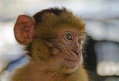Behandla som ett barn schimpansen Royaltyfri Foto
