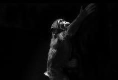Behandla som ett barn schimpansen som når upp Royaltyfria Bilder
