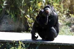 behandla som ett barn schimpansmodern Royaltyfri Fotografi