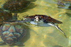 behandla som ett barn se ut havssköldpaddavatten Arkivbilder