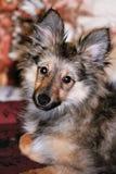behandla som ett barn sheepdogen shetland Arkivfoto