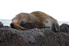 Behandla som ett barn sjölejonet, Galapagos öar, Ecuador Royaltyfria Bilder