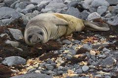 Behandla som ett barn sjölejonet i Antarktis Arkivbilder