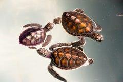behandla som ett barn sköldpaddan Royaltyfria Foton