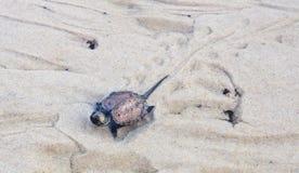 Behandla som ett barn sköldpaddan Fotografering för Bildbyråer