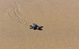 Behandla som ett barn sköldpaddan som gör dess väg till havet arkivbilder