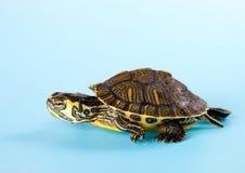 Behandla som ett barn sköldpaddan på blått Arkivbilder