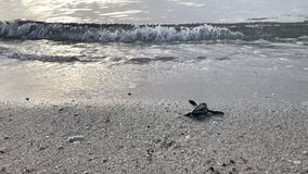 Behandla som ett barn sköldpaddan på stranden