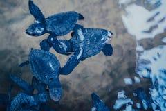 Behandla som ett barn sköldpaddor i ett damm arkivfoton