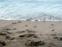 Behandla som ett barn sköldpaddor som går till havet fotografering för bildbyråer