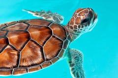 behandla som ett barn sköldpaddavatten Royaltyfri Fotografi