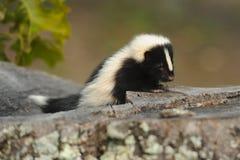 Behandla som ett barn Skunk 3 Arkivbild