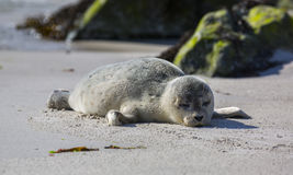 Behandla som ett barn skyddsremsan på den tyska ön av Helgoland Royaltyfri Bild