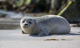 Behandla som ett barn skyddsremsan på den tyska ön av Helgoland Fotografering för Bildbyråer
