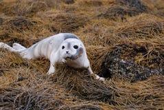 Behandla som ett barn skyddsremsan på havsväxt i Maine Arkivfoton