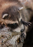 Behandla som ett barn slutet för tvättbjörnen (Procyonlotor) upp Royaltyfri Bild