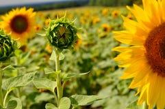 Behandla som ett barn solrosen i skogen, fält Arkivfoto