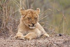 behandla som ett barn sovande lionen Arkivfoto