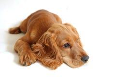 behandla som ett barn spanielen för cockerspanielhundengelska Arkivbild