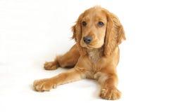 behandla som ett barn spanielen för cockerspanielhundengelska Royaltyfri Fotografi