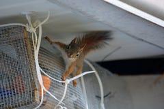 Behandla som ett barn squirrells Arkivfoton