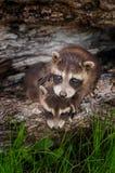 Behandla som ett barn ställningar för tvättbjörnen (Procyonlotor) uppe på Sibling Fotografering för Bildbyråer