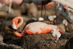 behandla som ett barn stor phoenicopterusruber för flamingoen Royaltyfri Fotografi