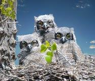behandla som ett barn stora horned owls royaltyfria foton