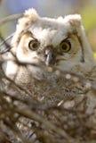 behandla som ett barn stora owlets för horned owl Royaltyfria Bilder