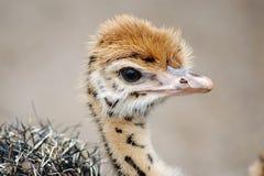 Behandla som ett barn strutsfågelungen med särskiljande fläckar Närbildhuvud arkivfoto