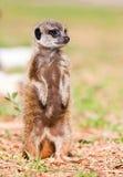 behandla som ett barn suricate royaltyfri foto