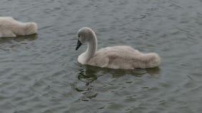 Behandla som ett barn svanar, unga svanar som paddlar i sjön Sekunder för HD 30+ arkivfilmer