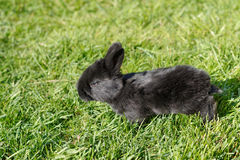 behandla som ett barn svart kanin Royaltyfri Bild