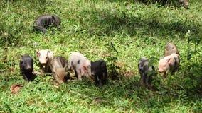 Behandla som ett barn svin, spädgrisar, gödsvin, lantgårddjur stock video