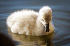 Behandla som ett barn swanen på vattnet Royaltyfri Fotografi